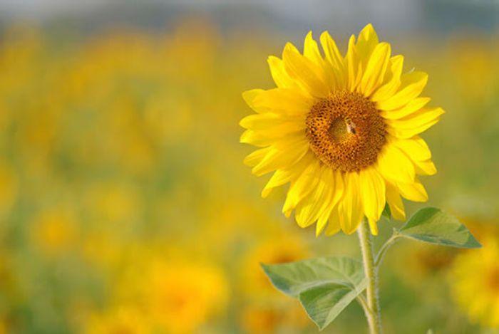 Nằm ngủ thấy vẽ bông hoa hướng dương cho biết chủ nhân là người yêu công lý
