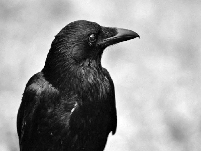 Mơ thấy con quạ điềm tốt hay xấu? Đánh con gì?