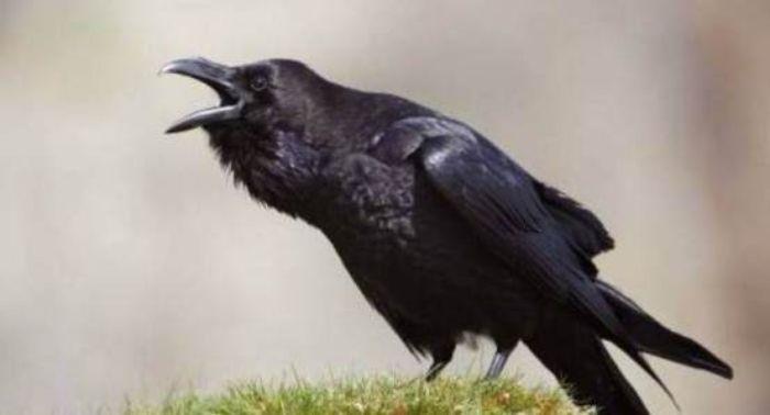 Giấc mộng thấy con quạ kêu đánh ngay các số 91 - 30