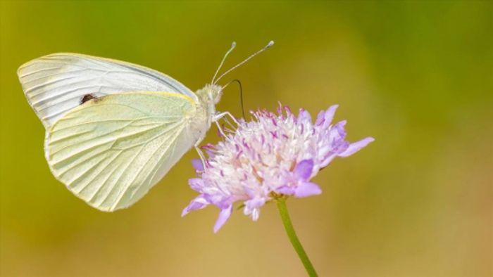 Giấc mơ bướm trắng cho thấy bạn đã có quãng thời gian vô tư vô lo