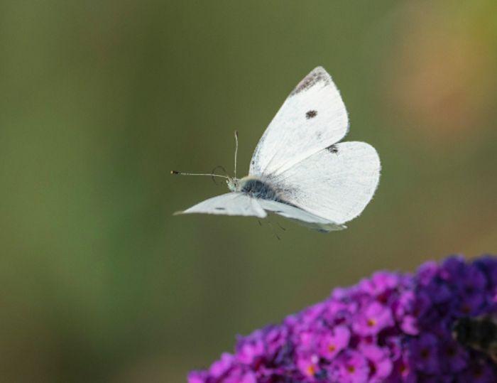 Mơ thấy bướm bay trong vườn cho thấy rằng việc làm ăn của bạn đang có khởi sắc