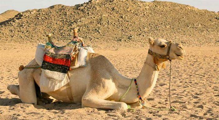 Giấc mơ thấy con lạc đà chọn con số nào để đổi đời?
