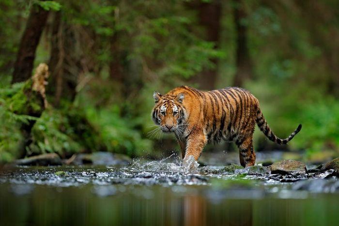Chiêm bao thấy con hổ đang đuổi theo mình thì anh em ghi liền con 77 - 22 - 18