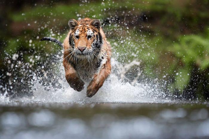 Nằm mơ thấy con hổ đánh con gì đổi đời nhanh nhất?