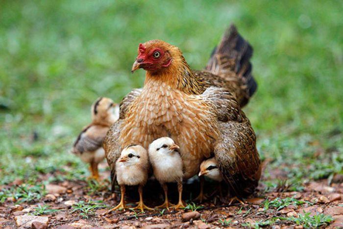 Mơ thấy một đàn gà màu vàng vào nhà mình đừng bỏ qua số 33 - 35 - 38- 83