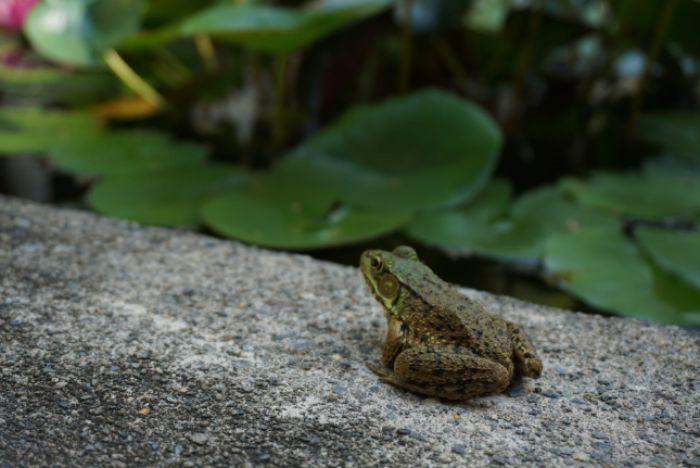 Luận giải ý nghĩa của giấc mơ thấy con ếch