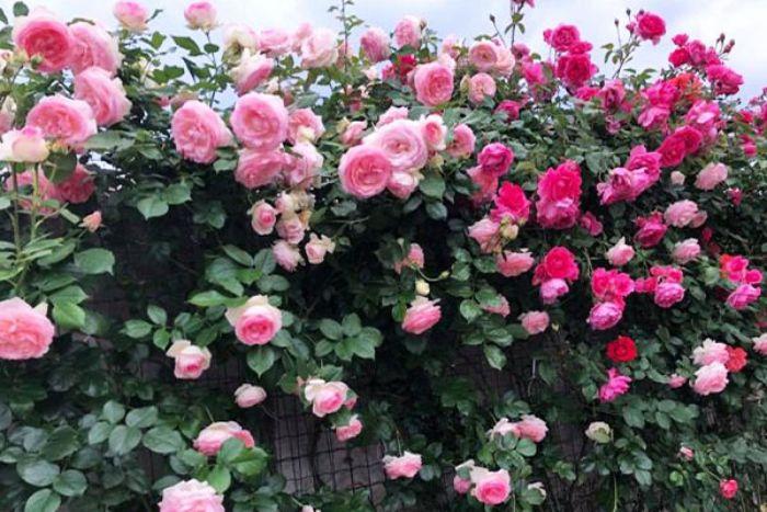 Hoa hồng Pháp có màu sắc vô cùng nhã nhặn và nhẹ nhàng