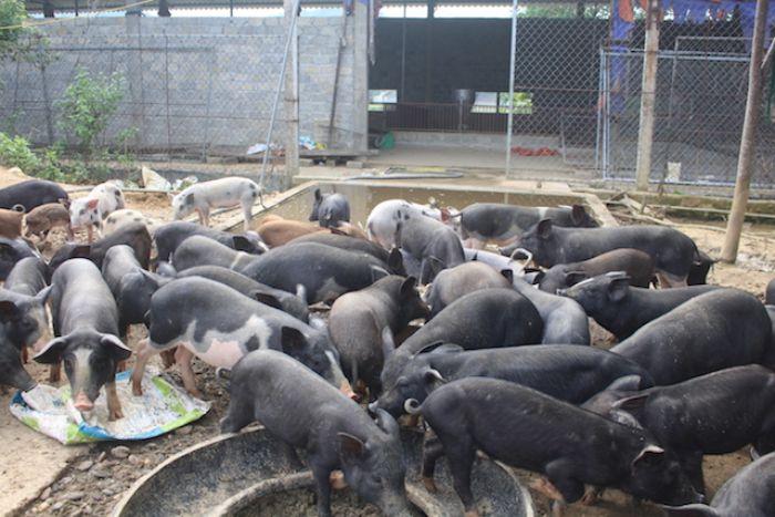 Ngủ mơ gặp đàn lợn con màu đen đừng bỏ qua cặp số may mắn 15 - 54.