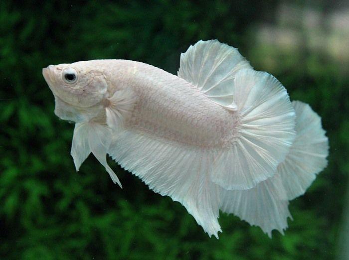 Tìm hiểu các ý nghĩa ẩn chứa trong giấc mơ thấy cá trắng