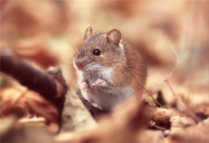 Mơ thấy chuột đánh con gì để thay đổi tài vận?