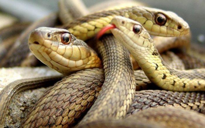 Nếu trong mơ bạn nhìn thấy hai con rắn đang đuổi nhau