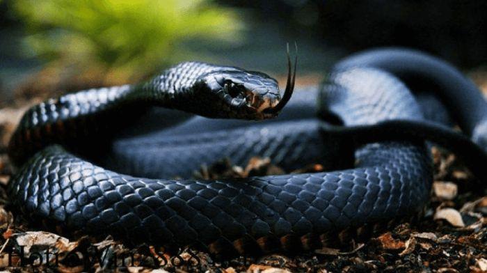 Mơ thấy rắn đen là điềm báo gì?