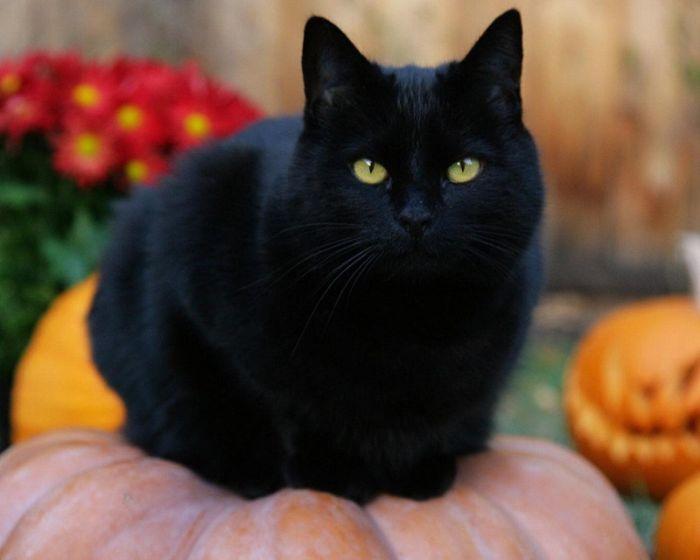 Giấc mộng nuôi mèo đen cho thấy bạn đang còn cô đơn nhưng vẫn chưa muốn lập gia đình