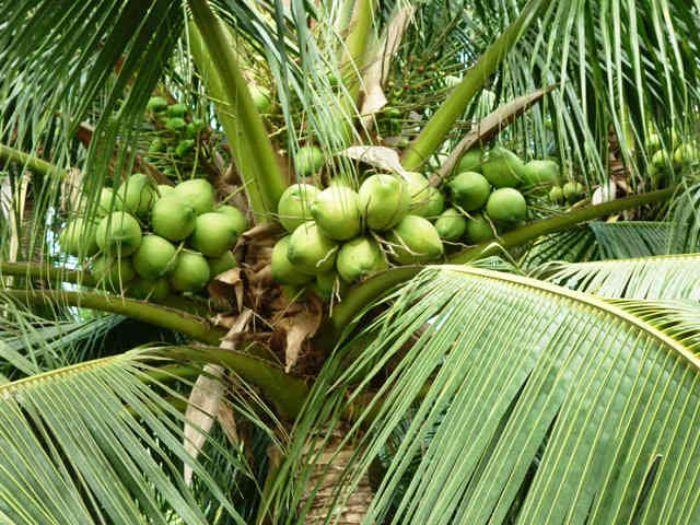 Nếu thấy trèo cây dừa bị ngã dự báo rằng bạn sẽ gặp một tai nạn liên quan đến nước