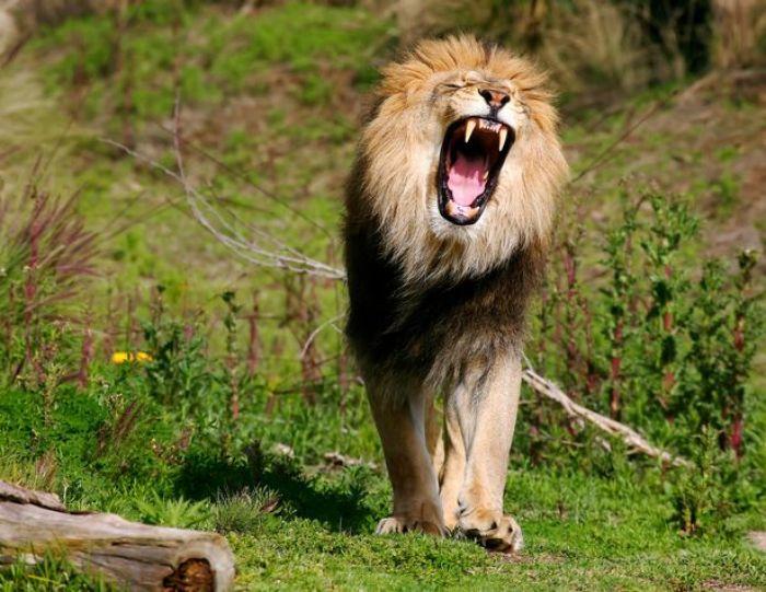 Mơ thấy sư tử cắn chân cho thấy bạn bị lừa dối trong tình yêu