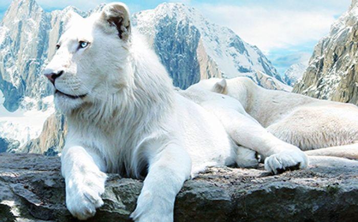 Nếu bạn mộng thấy sư tử trắng có nghĩa là bạn đang gặp một vận hạn nào đó