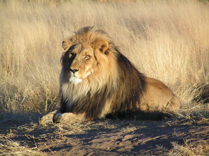 Mơ thấy sư tử đánh con gì? Điềm báo ra sao?