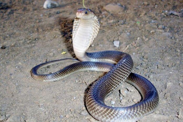 Nằm mơ bắt được nhiều rắn hổ mang