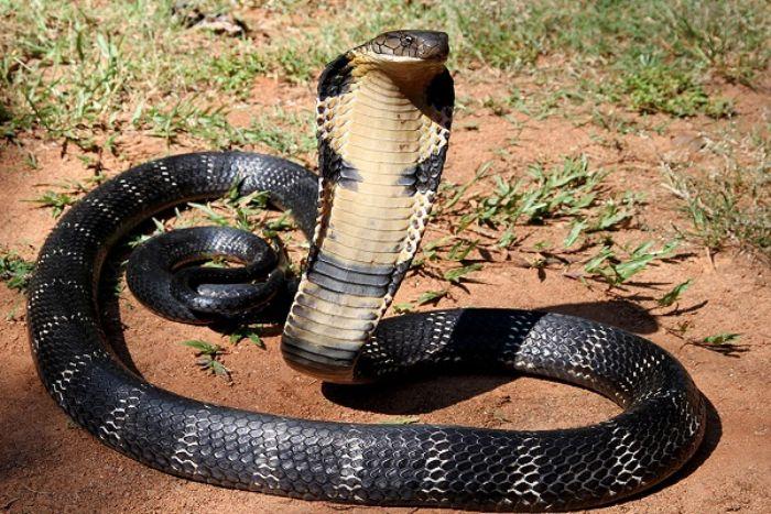 Tìm hiểu mơ thấy rắn hổ mang đánh con gì?