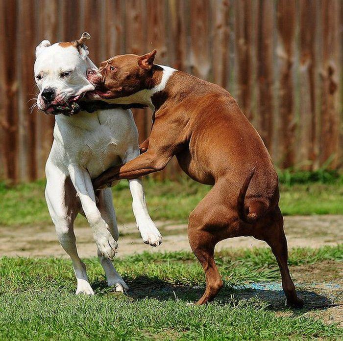 Hình ảnh đàn chó đang cắn lẫn nhau cho thấy sắp tới giữa bạn và những người đồng nghiệp dễ xảy ra cãi vã