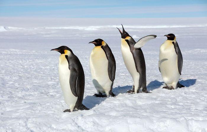 Chim cánh cụt là một trong những loài động vật sinh sống ở nơi lạnh giá như Nam bán cầu