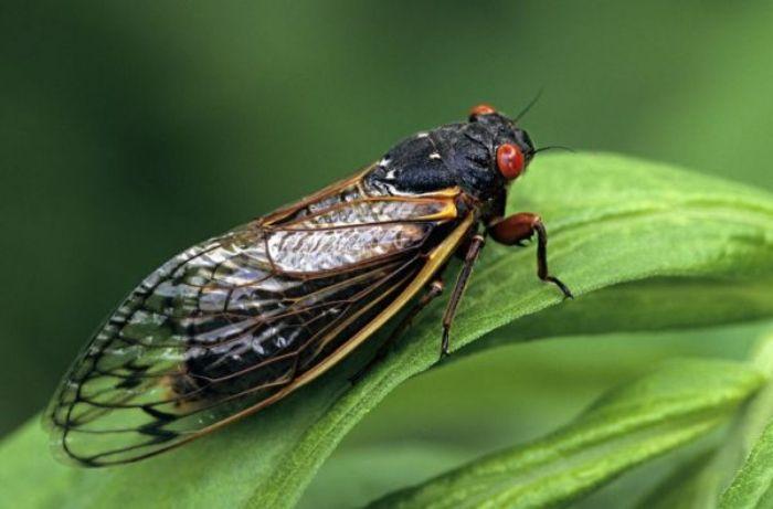 Ve sầu hay còn được gọi là kim thiền thuộc loại côn trùng khá đặc biệt của tự nhiên