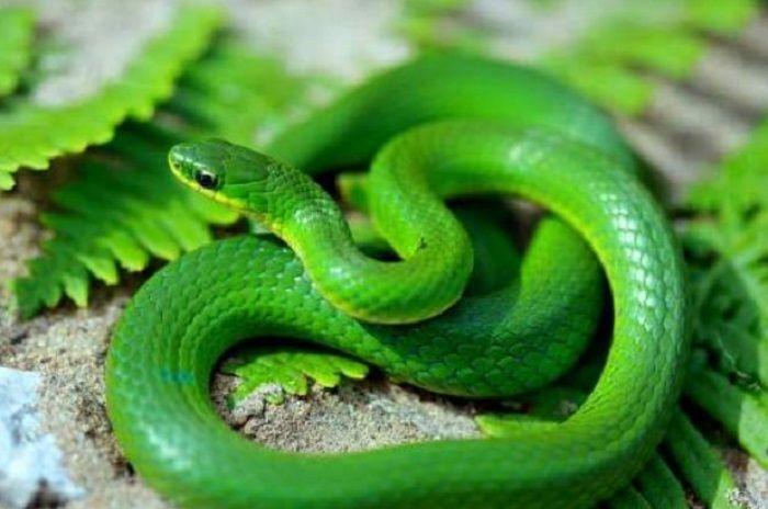 Trong văn hóa của nhiều nước trên thế giới, rắn là loài động vật linh thiêng