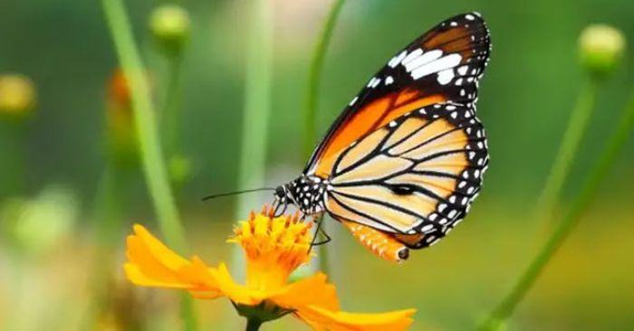 Người Việt thường có quan niệm tâm linh rằng con bướm là hiện thân của linh hồn