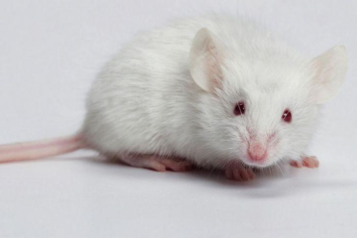Chuột là loài động vật có thân hình nhỏ, chân ngắn và đuôi dài.