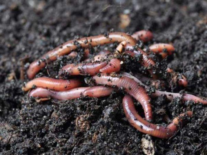 Giun đất là một trong những loài động vật mang đến nhiều lợi ích cho nền nông nghiệp
