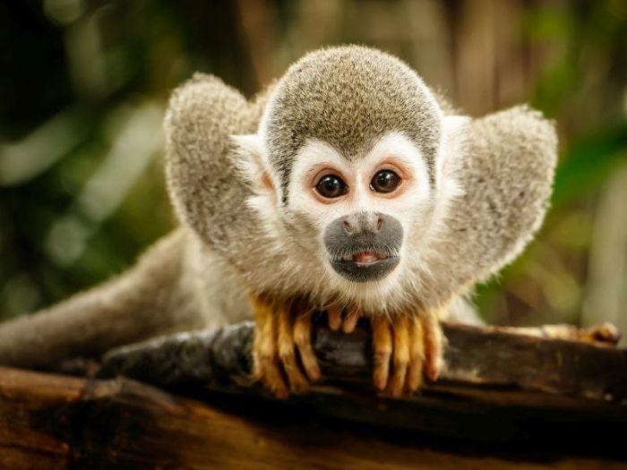 Theo các chuyên gia giải mã giấc mơ thì khi con người nằm mộng thấy khỉ sẽ cảm thấy vô cùng vui vẻ
