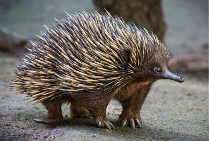 Nhắc đến nhím chúng ta sẽ thường nghĩ ngay đến một con vật với những chiếc lông sắc nhọn