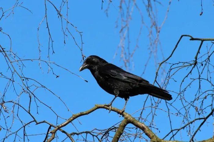 Mỗi khi chiêm bao thấy hình ảnh con quạ chúng ta thường không tránh khỏi sự lo sợ