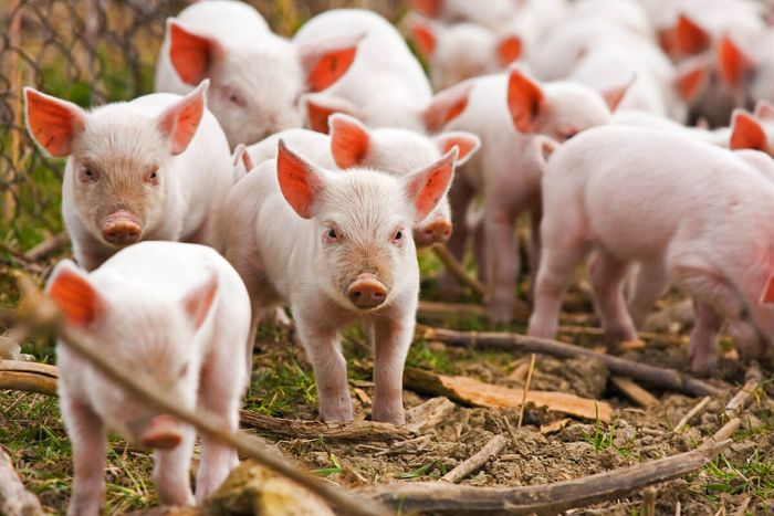 Lợn là loài động thân quen thuộc đối với con người