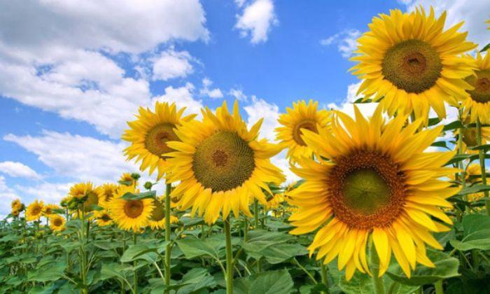 Hầu hết những giấc mơ có liên quan đến hoa này sẽ mang điềm báo may mắn