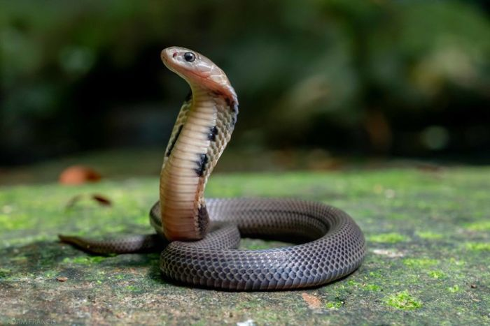 Một trong những chiêm bao mà con người không muốn gặp nhất là thấy rắn vào nhà
