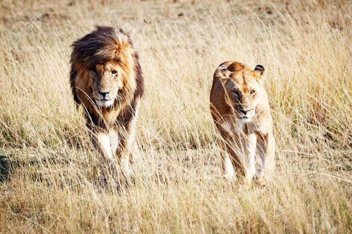 Sư tử không những có sức mạnh dẻo dai, chạy với tốc độ nhanh và vô cùng hung dữ
