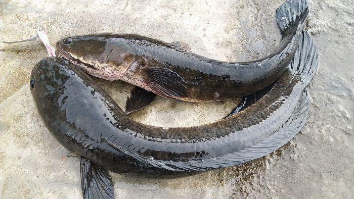 Mơ thấy cá lóc ẩn chứa những điềm báo trong cuộc sống và gắn liền với những con số khác nhau