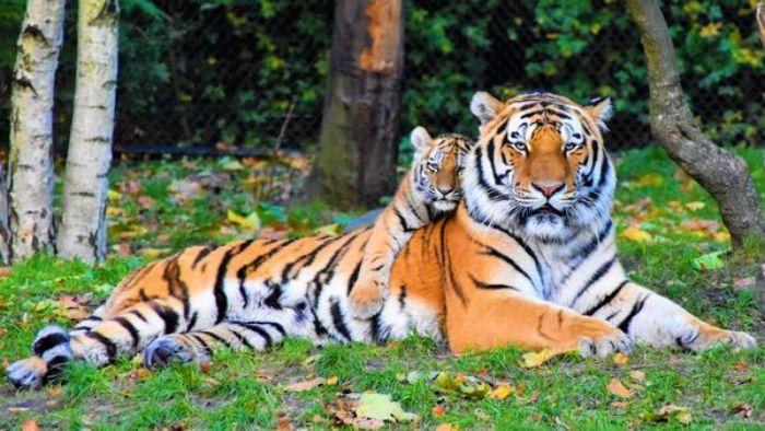 Hổ luôn được xem là chúa sơn lâm của rừng rậm, chúng là loài săn mồi sống riêng lẻ trong tự nhiên