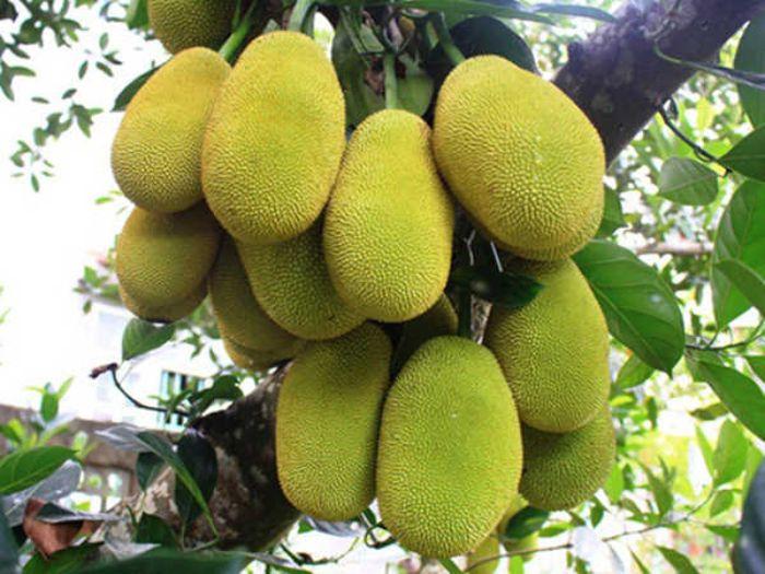 Mít là một loại trái cây rất quen thuộc và được rất nhiều người ưa thích