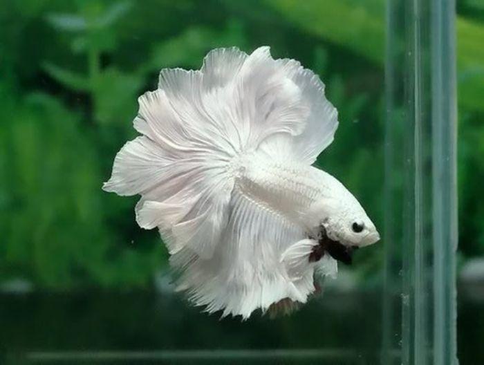 Cá trắng thường xuất hiện nhiều ở Nhật Bản, sống gần hoặc trên đáy biển