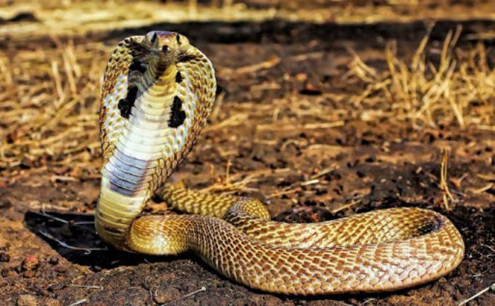 Chiêm bao ngủ mơ rắn hổ mang ẩn chứa nhiều ý nghĩa khác nhau